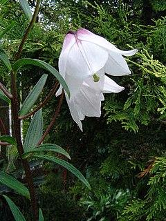 <i>Lilium mackliniae</i> species of plant