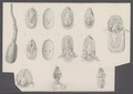 Lingula anatina - - Print - Iconographia Zoologica - Special Collections University of Amsterdam - UBAINV0274 093 04 0003.tif