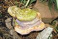 Lingzhi mushroom Oct 2011.jpg
