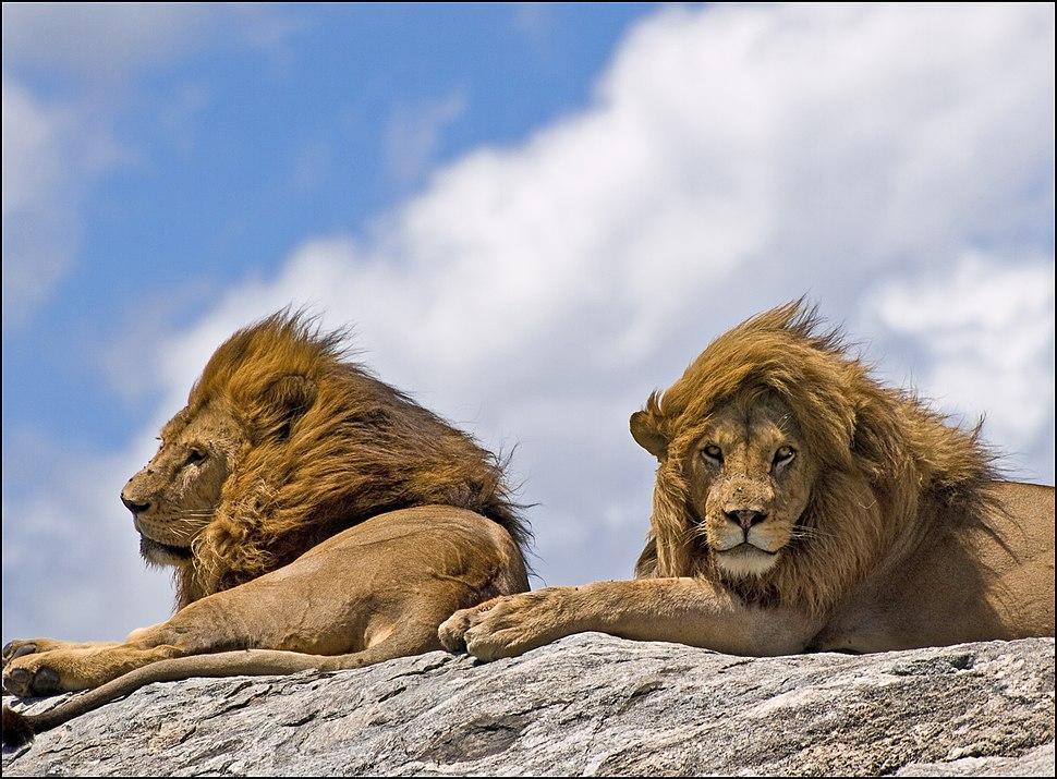 Lion-0035