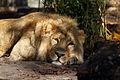 Lion (4089327037) (3).jpg