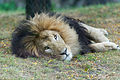 Lion Resting in Grass (21277459818).jpg