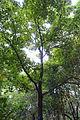 Liquidambar formosana - Chengdu Botanical Garden - Chengdu, China - DSC03613.JPG