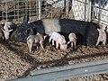 Little Piggies.jpg