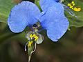 Livingston's Blue Commelina (Commelina livingstonii) (11492199895).jpg