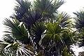 Livistona rotundifolia 6zz.jpg