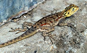 Agamidae - Ground agama (Agama aculeata) in Tanzania