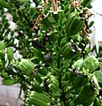Lobelia boninensis (5743370371).jpg