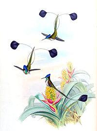 Loddigesia mirabilis + Aechmea mucroniflora - Gould Troch. pl. 161