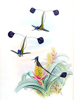 Loddigesia mirabilis + Aechmea mucroniflora - Gould Troch. pl. 161.jpg