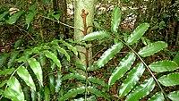 Lomariopsis marginata (Schrad.) Kuhn (8288892864).jpg