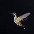 Long-billed startthroat (Heliomaster longirostris longirostris) in flight.jpg