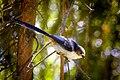 Long-tailed tit (18702528748).jpg