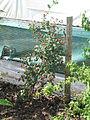 Lonicera etrusca Michael Rosse (20430376109).jpg