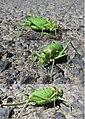 Lovely big Bush cricket or Tettigoniidae (NL= Sabelsprinkhaan) at Boisseeron - panoramio.jpg