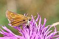 Lulworth skipper (Thymelicus acteon) female 2.jpg