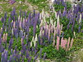Lupins sauvages.JPG