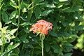 Lychnis chalcedonica Burning Love 0zz.jpg