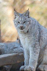 Lynx Looking (17062372985).jpg