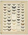 MA I437614 TePapa Plate-XV-The-butterflies full.jpg