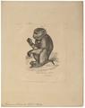 Macacus leoninus - 1700-1880 - Print - Iconographia Zoologica - Special Collections University of Amsterdam - UBA01 IZ20000107.tif