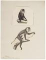 Macacus silenus - 1700-1880 - Print - Iconographia Zoologica - Special Collections University of Amsterdam - UBA01 IZ20000101.tif