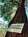 Maclura pomifera sau merele cailor din parcul dendrologic Golescu.jpg
