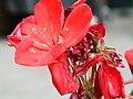 Macro, Red Flower - panoramio.jpg