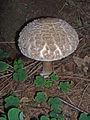 Macrolepiota-rhacodes-2098.JPG
