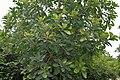 Madhuca indica (Mahua) in Hyderabad, AP W IMG 0066.jpg