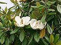 Magnolia grandiflora9.jpg