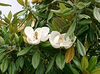 Magnolia grandiflora9