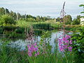 Magnuson wetlands fireweed june 2012.JPG