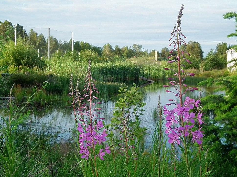 Magnuson wetlands fireweed june 2012