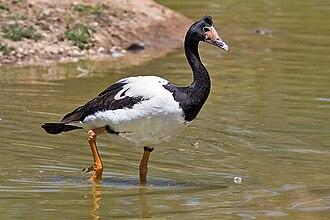 Anseriformes - Magpie goose, Anseranas semipalmata