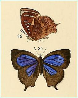 <i>Mahathala ameria</i> species of insect