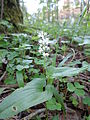 Maianthemum bifolium 03.JPG