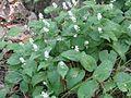 Maianthemum bifolium 6013.jpg
