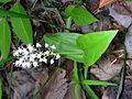 Maianthemum canadense 3 (5097930528).jpg