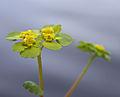 Maigull - Alternate-leaved golden saxifrage (2442933902).jpg