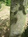 Malus toringoides (Rosaceae) bark.JPG