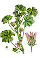 Malva neglecta Sturm64-extract.jpg