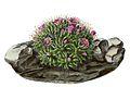 Mammillaria crinita BlKakteenT170.jpg