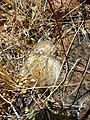 Mammillaria guelzowiana (5729903038).jpg