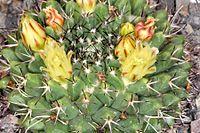 Mammillaria karwinskiana ssp karwinskiana pm 1.JPG