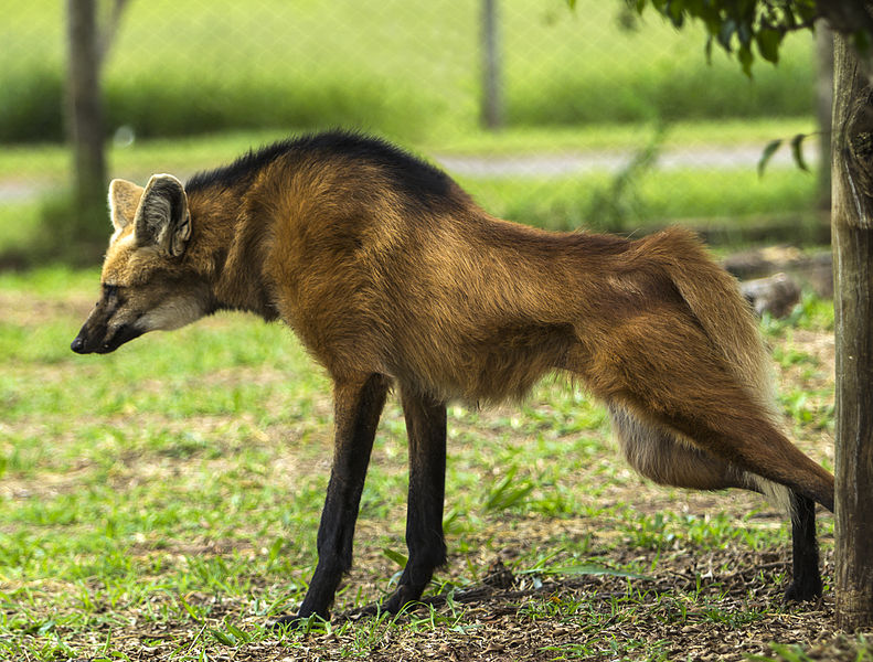Ficheiro:Maned Wolf stretching muscles - Lobo Guará.jpg