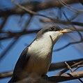 Mangrove Cuckoo (4465941241).jpg