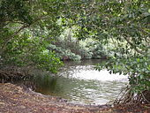 Mangrove trees in Everglades.JPG