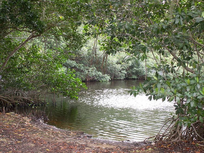 File:Mangrove trees in Everglades.JPG