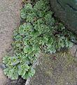 Marchantia polymorpha thallus and gemmae cups, Stewarton, Ayrshire.JPG